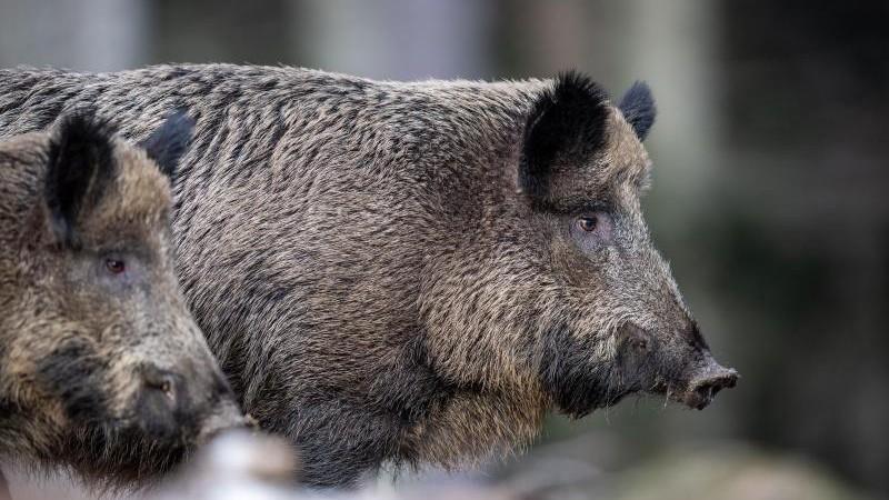 Brandenburg will Jagd auf Wildschweine intensivieren