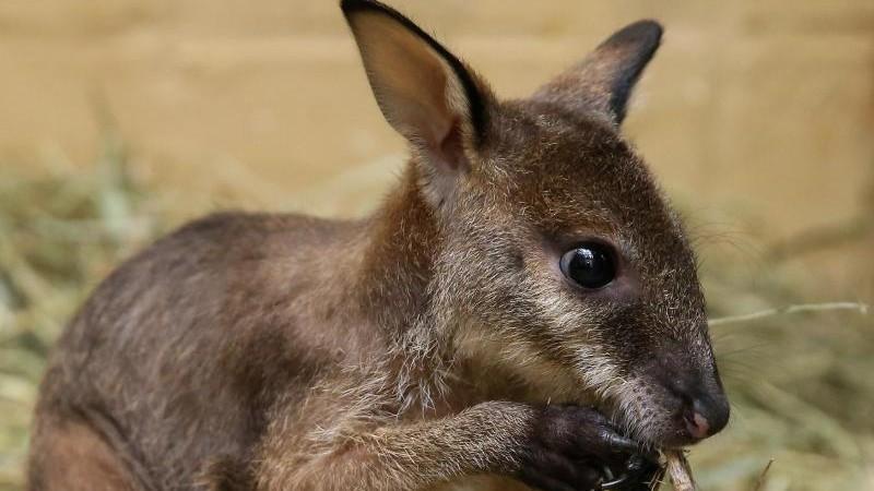 Känguru Ötzi jetzt mit Familienanschluss im Magdeburger Zoo