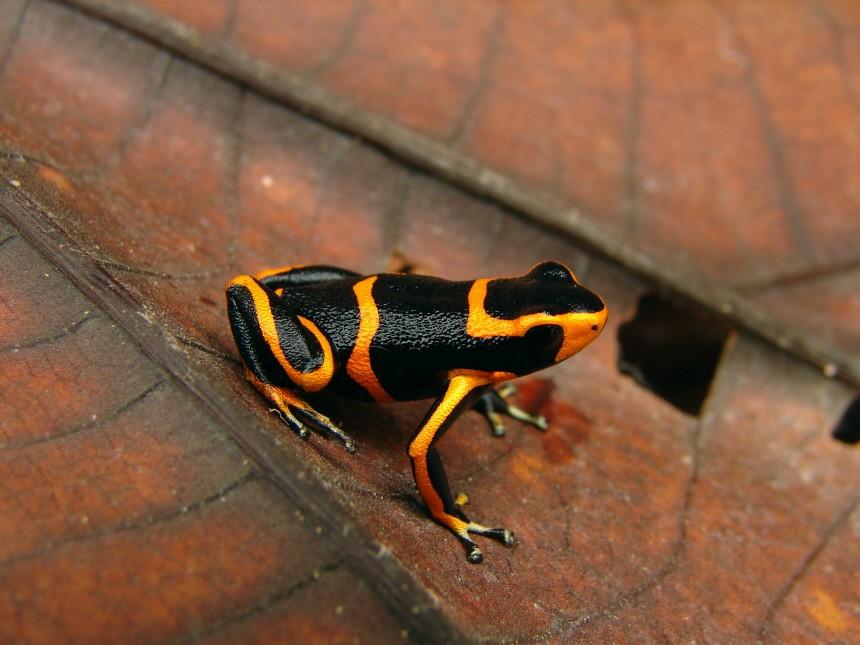 Amazonas neue Arten