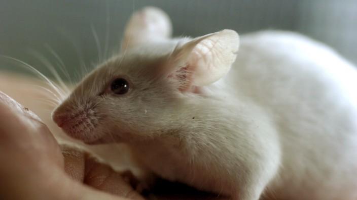 Mann oder Maus? - Nager hat 1000 Gene mehr