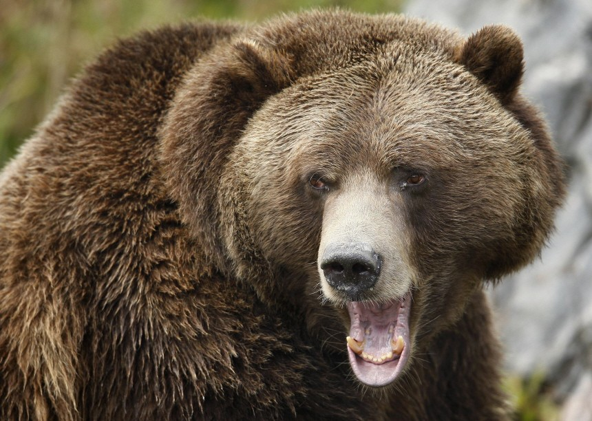 A grizzly bear growls at the St-Felicien Wildlife Zoo in St-Felicien
