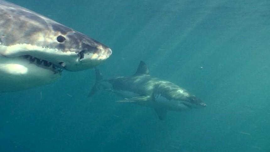 Weiße Haie sorgen vor der kalifornischen Küste für Aufregung.