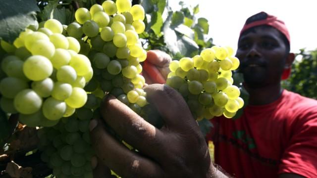 A seasonal worker cuts Chardonnay wine grapes in Arzelle vineyard in Franciacorta