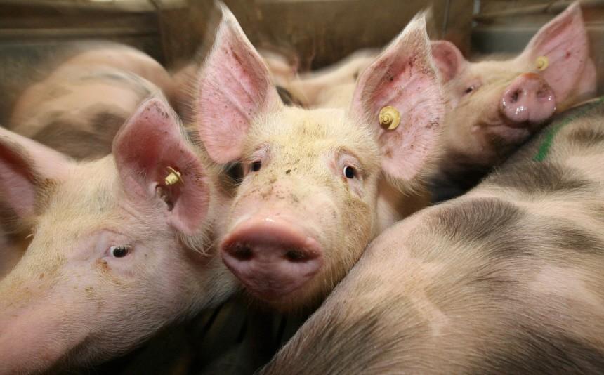 Schweinezüchter in der Krise