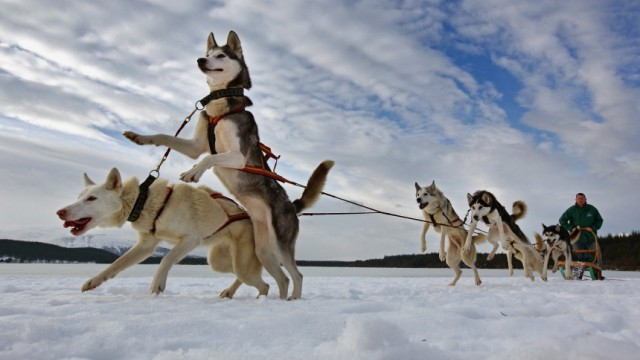 Huskie Teams Prepare For The 27th Aviemore Sled Dog Race