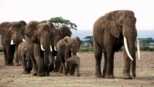 Bei Elefanten nimmt die Führungsqualität mit dem Alter zu