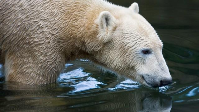 Knut hatte Defekt an Hirnwasserkammern