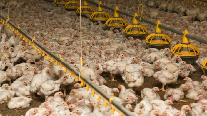 Massentierhaltung Hühner