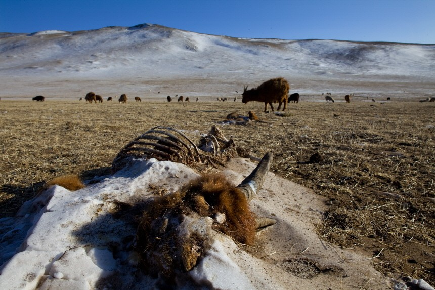 MNG: Extreme Mongolian Winter Claims Nomadic Herders Livestock