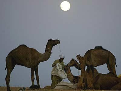 Kamele in Pushkar, Reuters