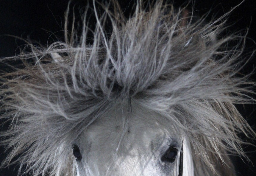 A horse shakes its head during the 'Icehorse' championship, where Icelandic horses race on an ice track, in Berlin