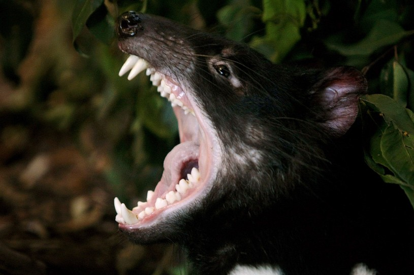 Tasmanian Devil named Tex stretches his jaws open in his enclosure at Sydney's Taronga Zoo