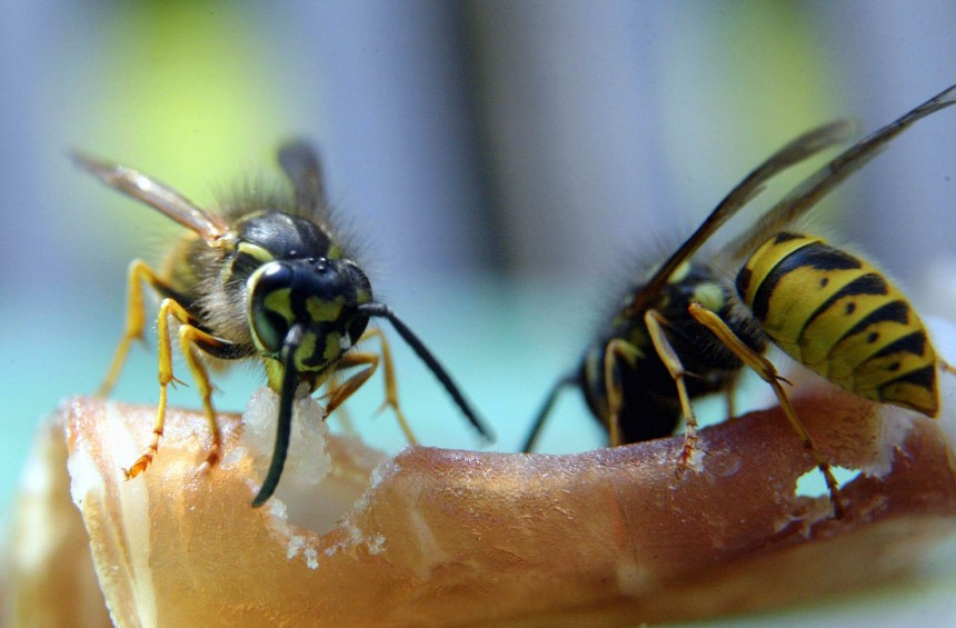 Wespen zum Fruehstueck