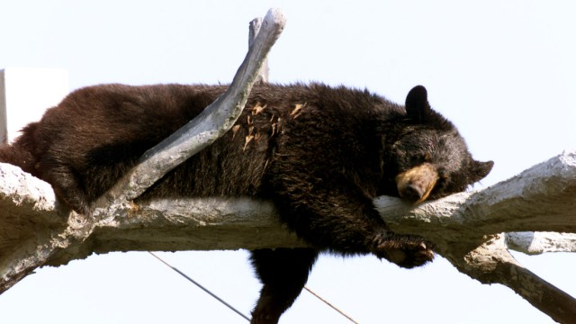 FLORIDA BLACK BEAR RELAXES IN TREE PERCH AT THEME PARK