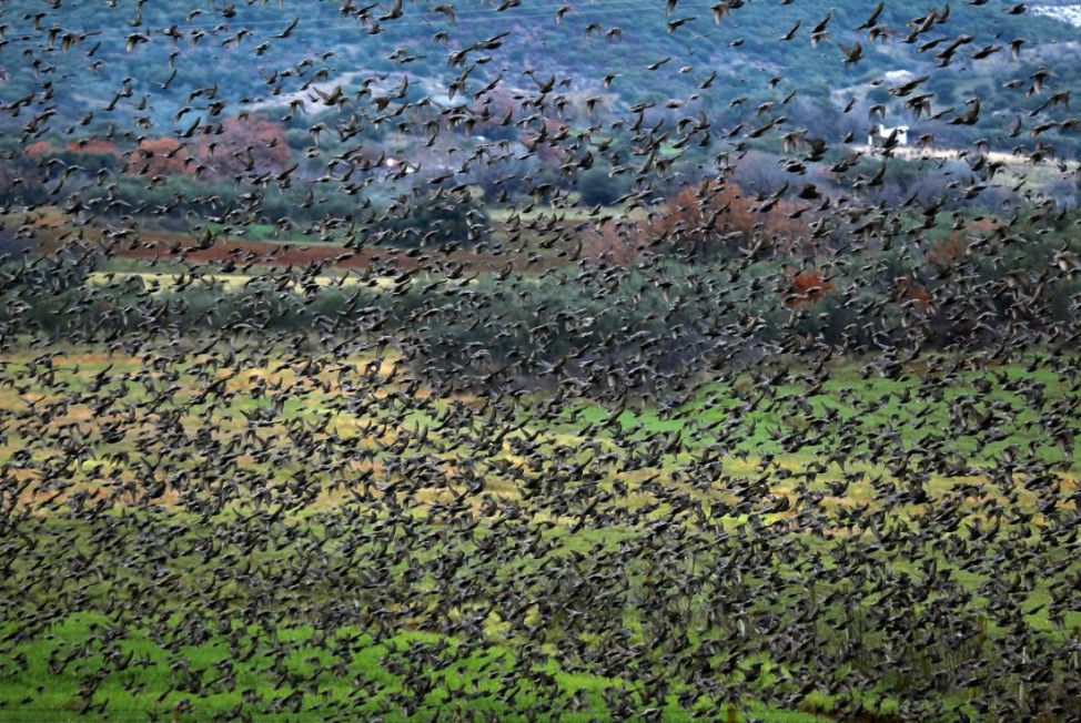 Thousands of starlings flock in northern Greece