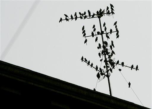 stare starling
