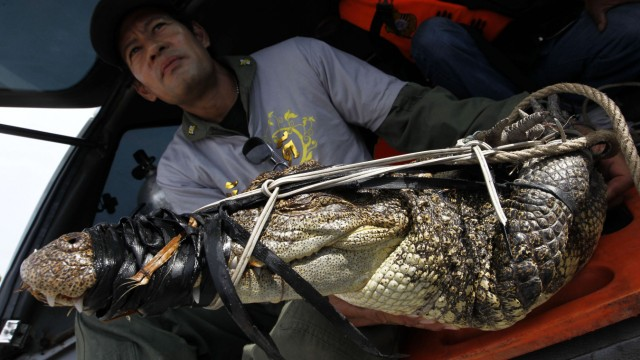 A Thai rescue worker sits next to a crocodile caught in a flooded area in Ayutthaya province