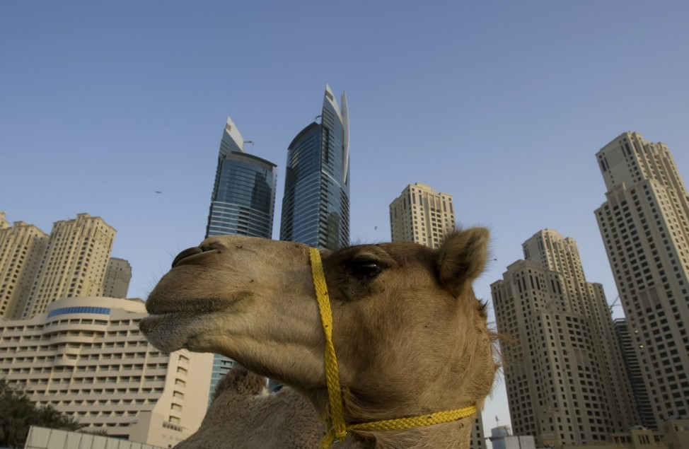 A camel stands in front of the Jumeirah Beach Residence in Dubai