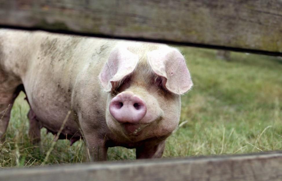 Themendienst Tiere: Schweine auf Diaet stinken weniger