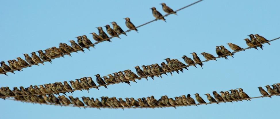 Zugvögel sammeln sich