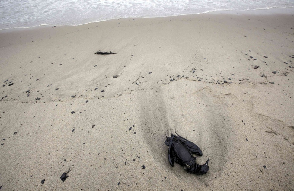 A dead seabird is seen on the shore as thick fuel-oil from the stricken container ship Rena fouls beaches at Papamoa