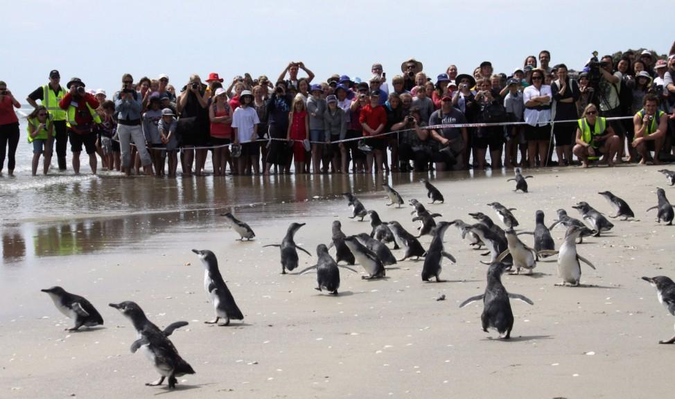 Penguins released after oil spill
