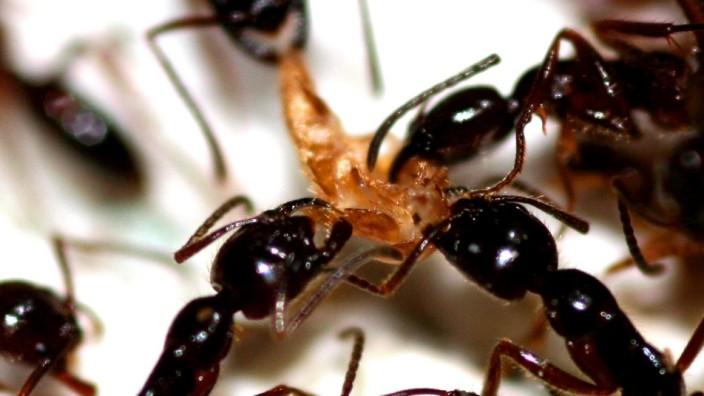 Ameisenplage in München: Ameisenplage in München: Viele Kinderspielplätze sind betroffen.