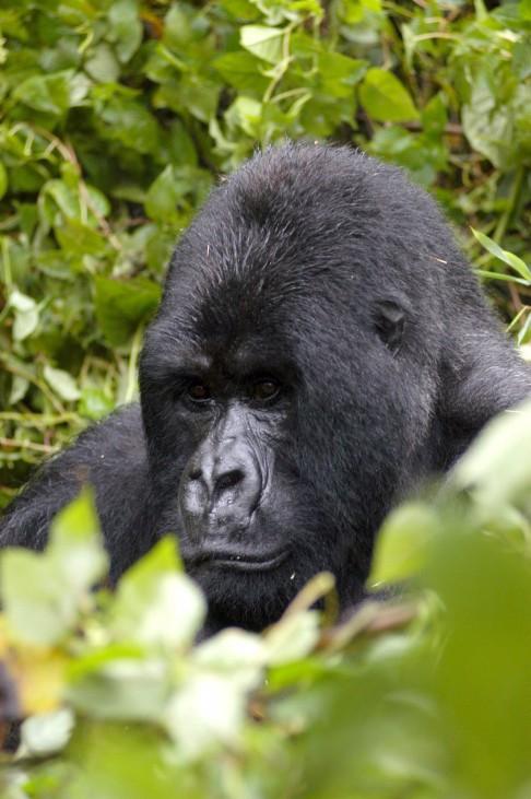 Exklusives Treffen - Zu Besuch bei Ruandas Berggorillas