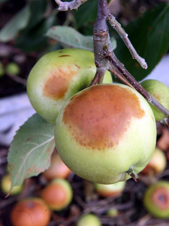 Sonnenbrand bei Äpfeln