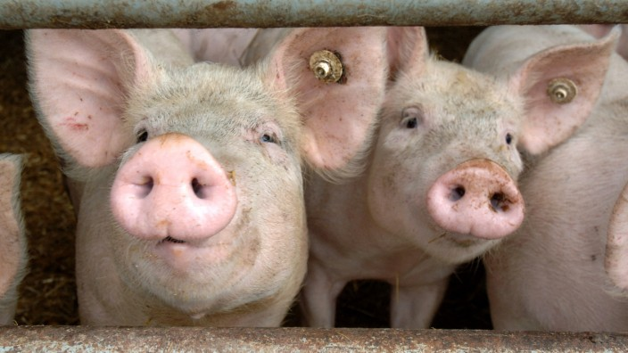 Landwirte halten mehr Schweine
