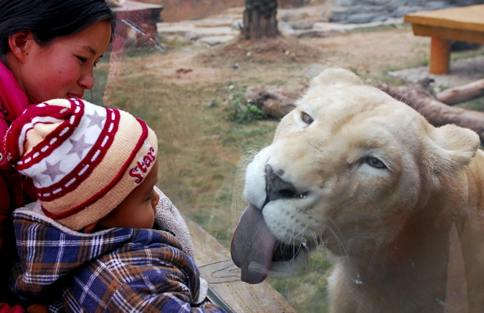 A white lion licks the glass wall of its enclosure as tourists visit a zoo in Nanning