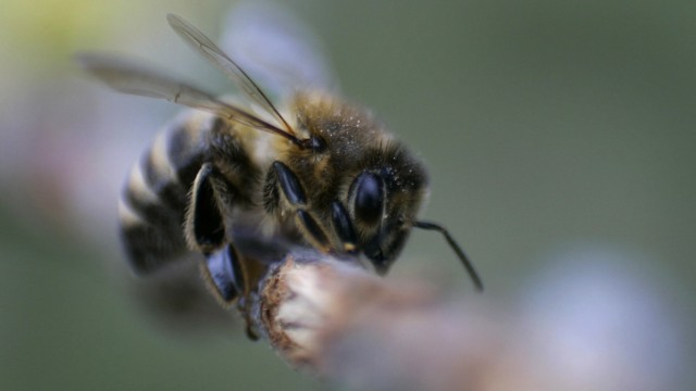 A honey bee rests on a branch in Utting at Lake Ammersee