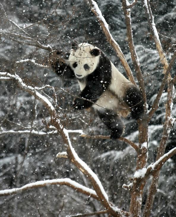 Giant panda Huaao plays on a tree amid snow at a zoo in Yantai