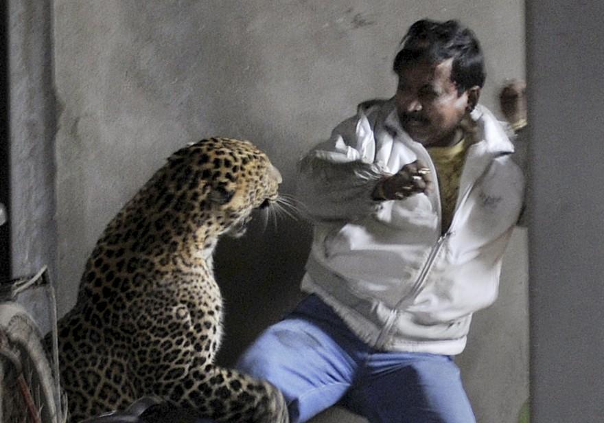 Indien Leopard Guwahati