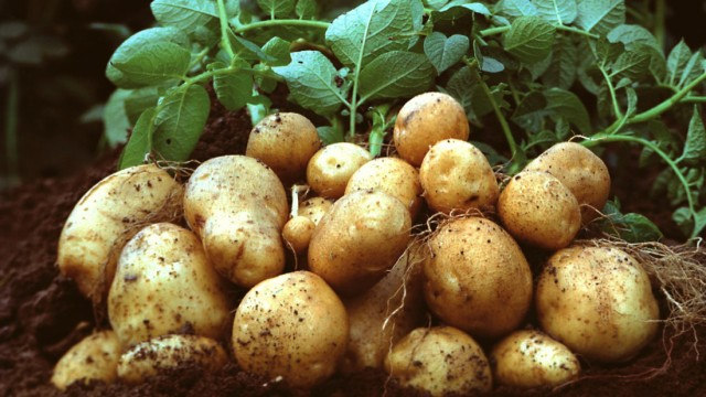 GERMANY-ENVIRONMENT-BIOTECH-GMO-BASF-POTATOES