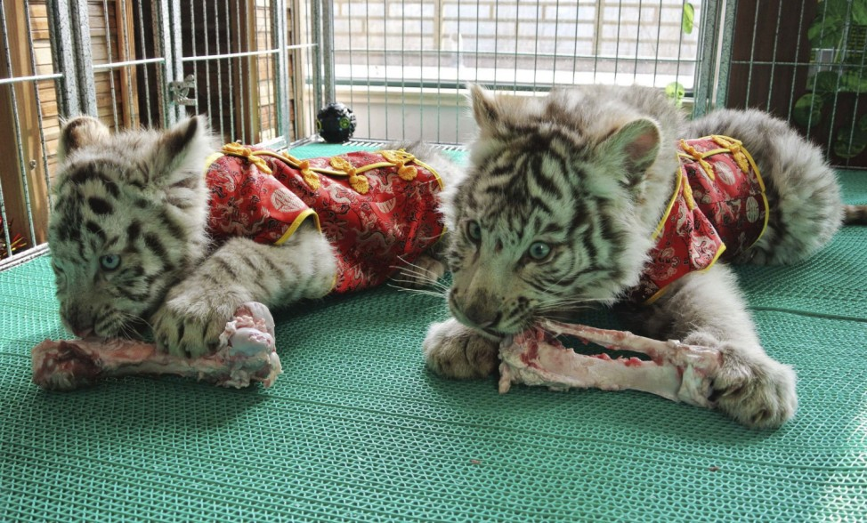 Bengali White Tiger cubs, dressed in traditional Chinese clothes for the upcoming Spring Festival, are seen eating inside their cage at a zoo in Qingdao