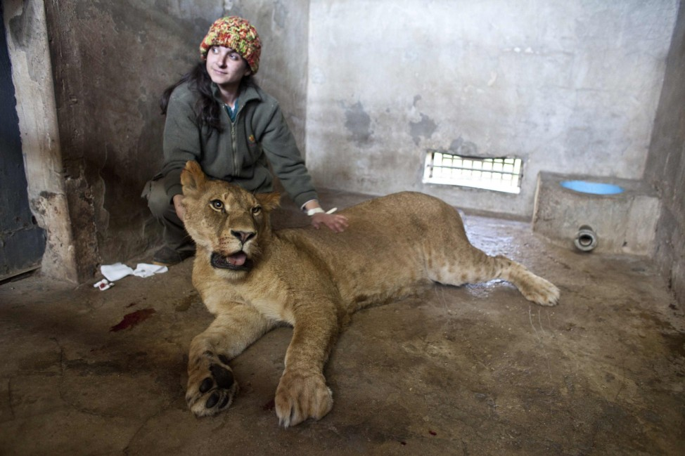 A zookeepers tends to Savanna, a lioness, after she was anaesthetized at Ramat Gan Safari near Tel Aviv