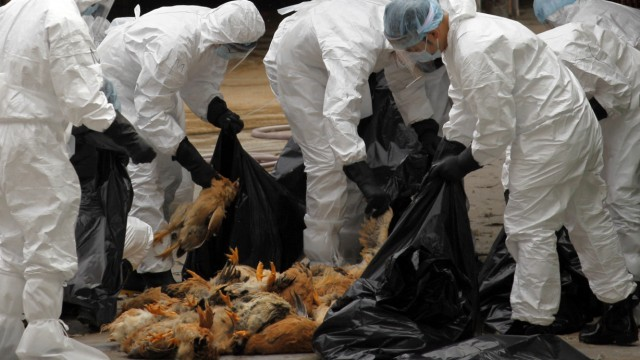 Health workers pack dead chicken at a wholesale poultry market in Hong Kong