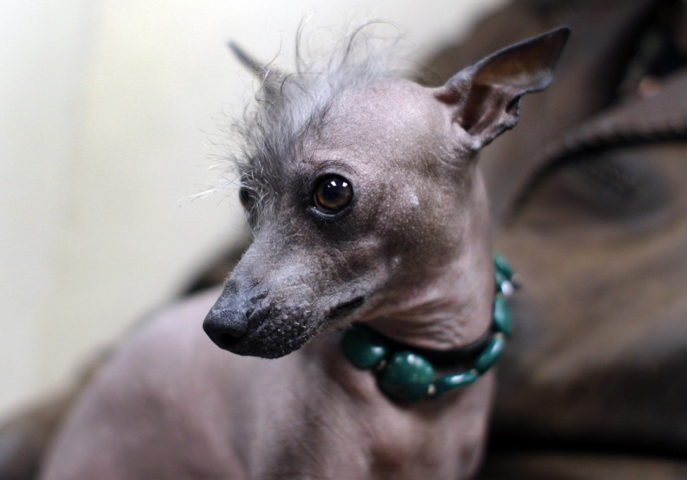 Alma Dulce, a two-year-old Xoloitzcuintli sits with Owner Jose Barrera at an event in New York