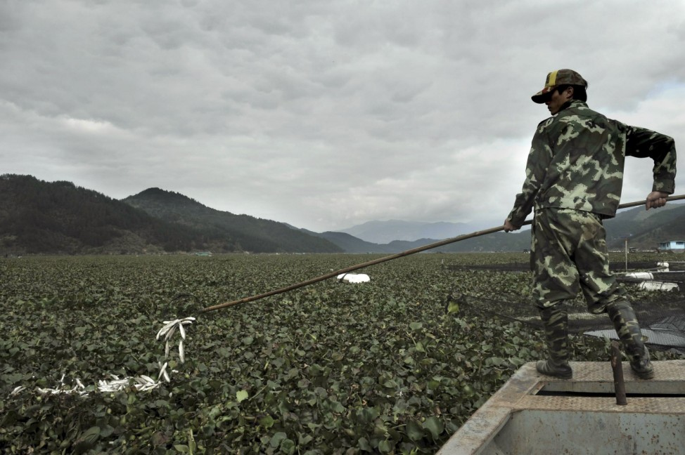 A fisherman salvages dead fish from water hyacinths on the water surface on Minjiang River in Wankou village