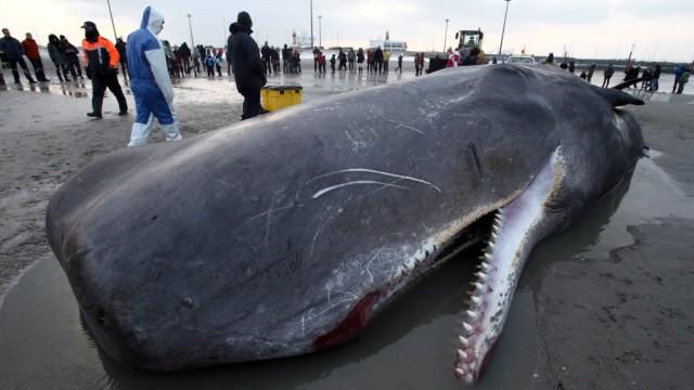 Stranded Sperm Whale