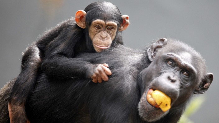 Young chimpanzee named Sembe rests atop her mother Shiba at Taronga Zoo in Sydney