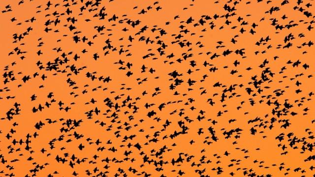 Stare vor dem Flug in ihre Überwinterungsgebiete
