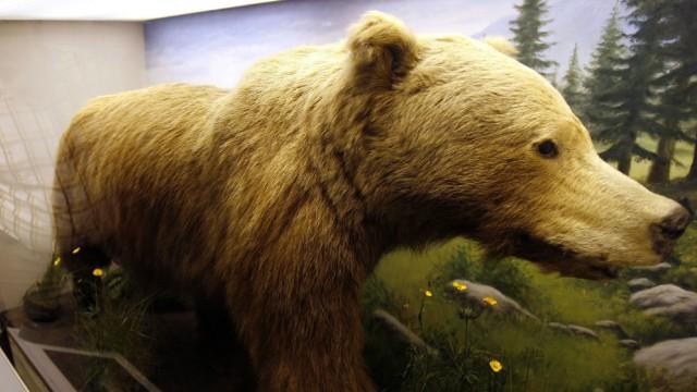 Der letzte frei lebende bayerische Braunbär ausgestopft im Museum 'Mensch und Natur', 2006