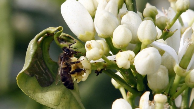 Bee collects pollen from flower at Cherchell farm in Tipaza Valley