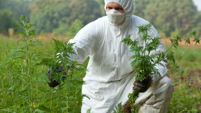 Ambrosiapflanzen sind Allergie-Auslöser und werden vernichtet