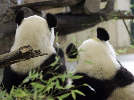 Wien trauert um abreisenden Panda;AP