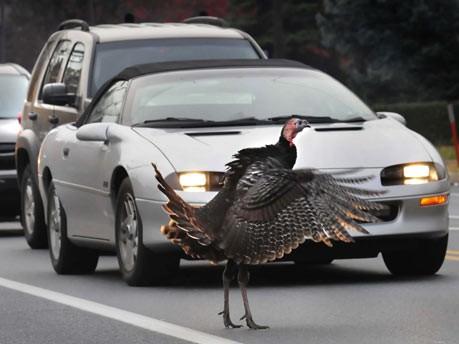 Truthahn auf einer Straße in Pasadena;AP