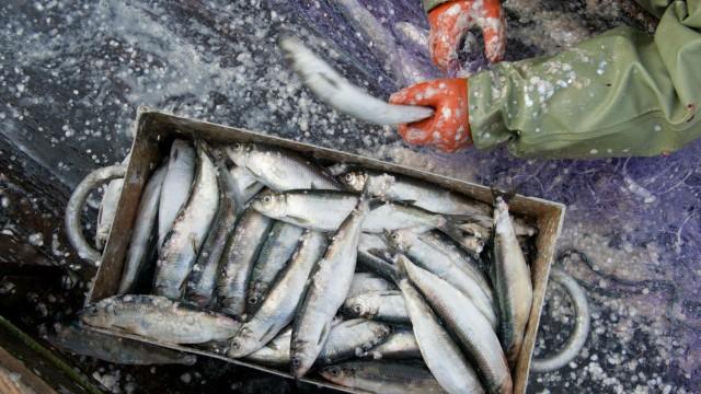 Küstenfischer Heringe Fischerei Reform EU