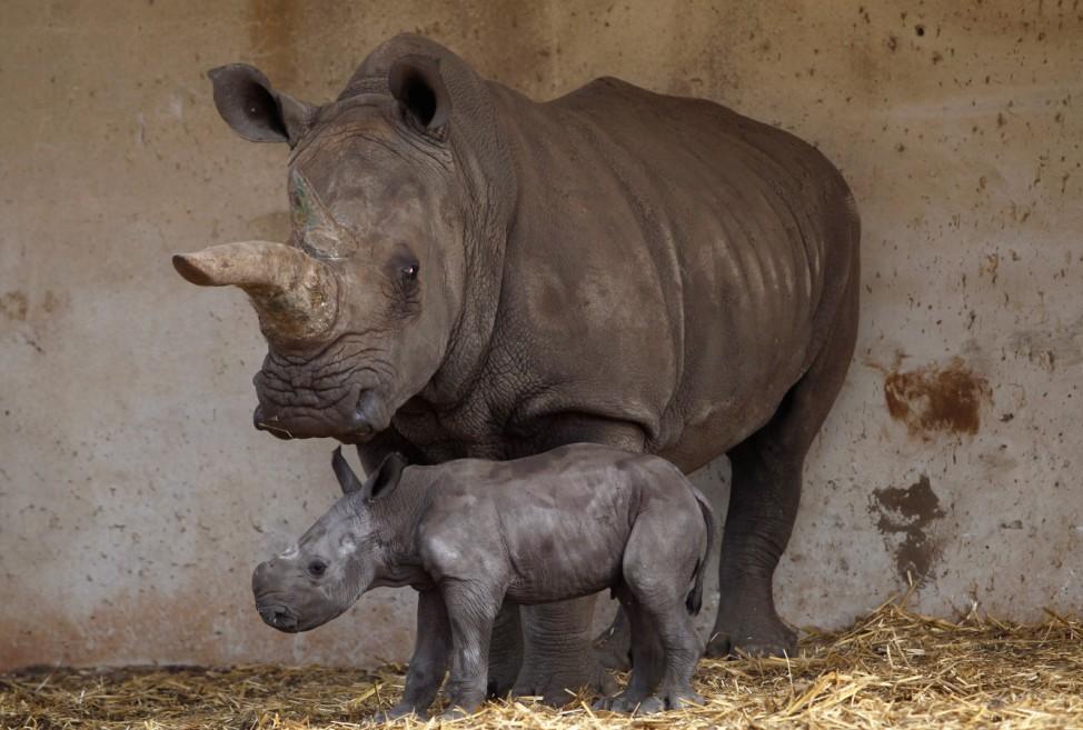 Tanda, a white rhinoceros, stands next to her one-day old calf at the Ramat Gan Safari near Tel Aviv